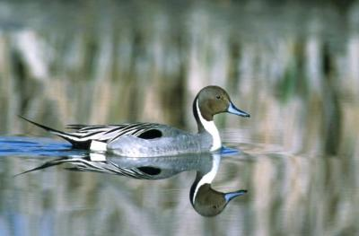 Northern Pintail (Anas acuta) ©USFWS