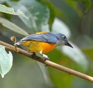 Orange-bellied Flowerpecker (Dicaeum trigonostigma) by ©Wiki