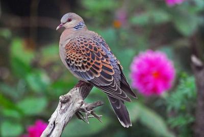 Oriental Turtle Dove (Streptopelia orientalis) by Nikhil