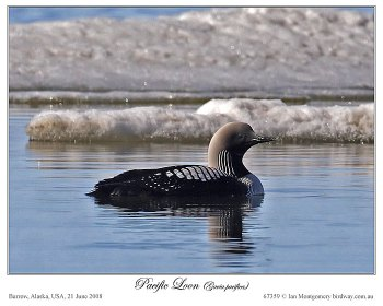 Pacific Loon(Gavia pacifica) by Ian