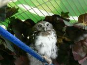 Pearl-spotted Owlet (Glaucidium perlatum) NA Hospital