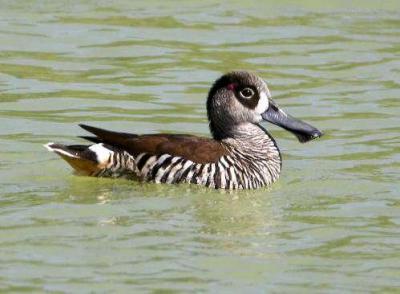 Pink-eared Duck (Malacorhynchus membranaceus) by Ian