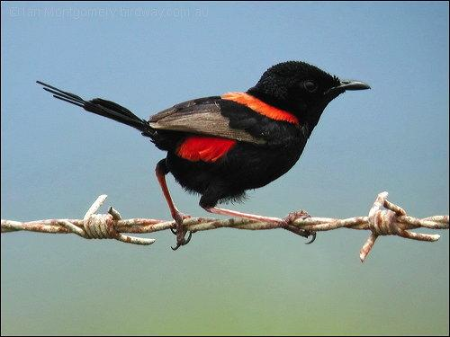Red-backed Fairywren (Malurus melanocephalus) by Ian