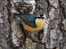 Red-breasted Nuthatch (Sitta canadensis) by Ian