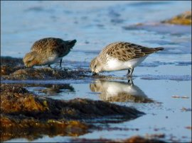 Red-necked Stint (Calidris ruficollis) by Ian in breeding and non-breeding plumage