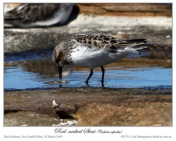 Red-necked Stint (Calidris ruficollis) by Ian