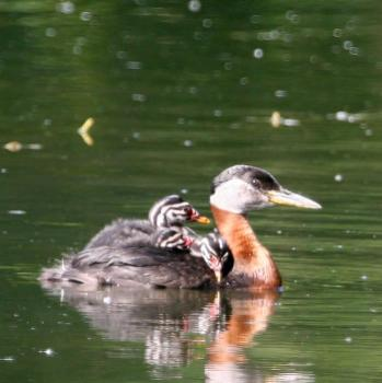 Red-necked Grebe (Podiceps grisegena) young on her wing ©USFWS