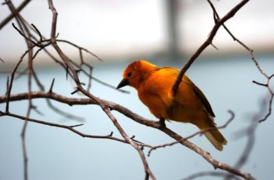 Saffron Finch (Sicalis flaveola) by Dan at National Aviary