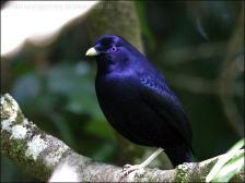 Satin Bowerbird (Ptilonorhynchus violaceus) by Ian