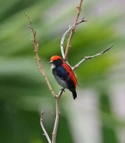 Scarlet-backed Flowerpecker (Dicaeum cruentatum) by ©Wiki