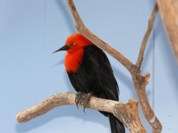 Scarlet-headed Blackbird (Amblyramphus holosericeus) by Lee
