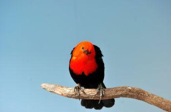 Scarlet-headed Blackbird by Dan