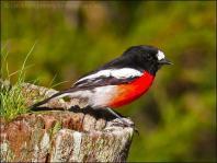 Scarlet Robin (Petroica boodang) by Ian