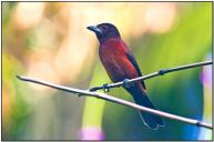 Silver-beaked Tanager (Ramphocelus carbo) by Daves BirdingPix