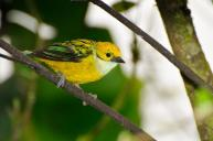 Silver-throated Tanager (Tangara icterocephala) Reinier Munguia