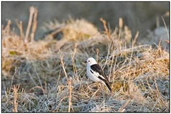 Snow Bunting (Plectrophenax nivalis) by Daves BirdingPix