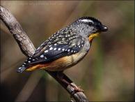 Spotted Pardalote (Pardalotus punctatus) by Ian