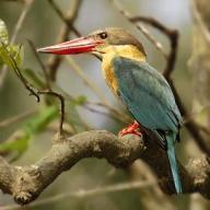 Stork-billed Kingfisher (Pelargopsis capensis) ©none