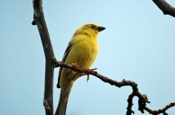 Sudan Golden Sparrow (Passer luteus) by Dan