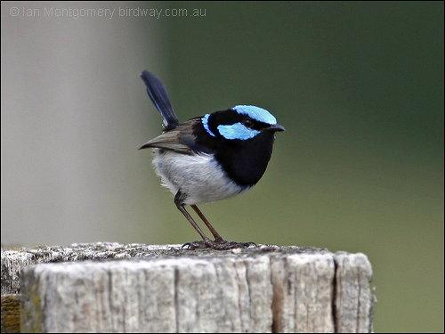 Superb Fairywren (Malurus cyaneus) by Ian