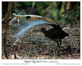 Superb Lyrebird (Menura novaehollandiae) by Ian