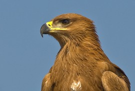 Tawny Eagle by Africaddict