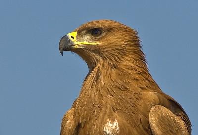 Tawny Eagle by Africaddict