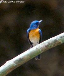 Tickell's Blue Flycatcher (Cyornis tickelliae) by Nikhil Devasar