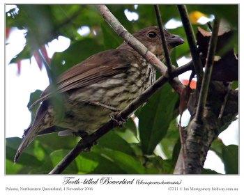 Tooth-billed Bowerbird (Scenopoeetes dentirostris) by Ian