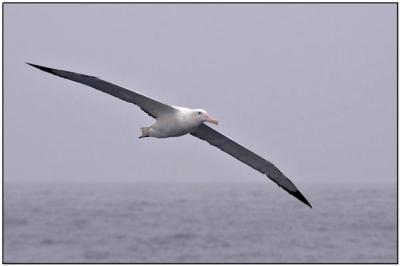 Wandering Albatross - Drake Passage