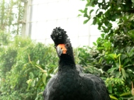 Wattled Curassow (Crax globulosa) at National Aviary by Lee