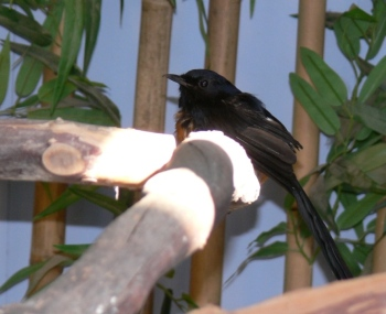 White-rumped Shama by Lee