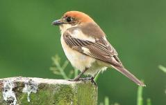 Woodchat Shrike (Lanius senator) by Wiki
