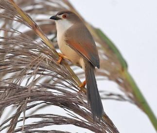 Yellow-eyed Babbler (Chrysomma sinense)