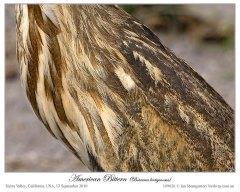 American Bittern (Botaurus lentiginosus) by Ian Montgomery