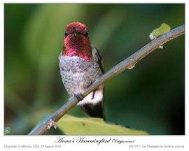 Anna's Hummingbird (Calypte anna) by Ian