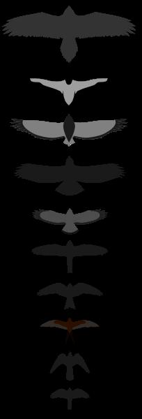 Birds of Prey - Raptorial Silhouettes ©Wikipedia