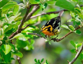 Blackburnian Warbler (Dendroica fusca) by J Fenton