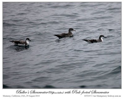 Buller's Shearwater (Puffinus bulleri) and Pink-footed Shearwater (Puffinus creatopus) by Ian