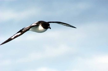 Cape Petrel (Daption capense) by Bob-Nan