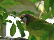 Fire-tufted Barbet by Lee at Wings of Asia
