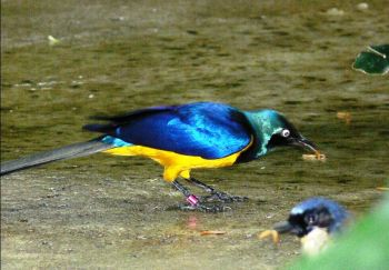 Golden-breasted Starling (Lamprotornis regius) at NA by Lee