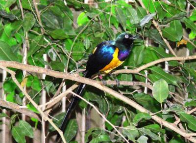 Golden-breasted Starling at NA
