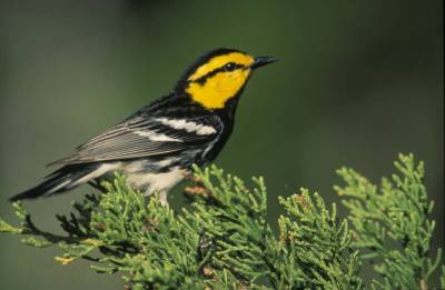 Golden-cheeked Warbler (Setophaga chrysoparia) ©USFWS