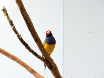 Gouldian Finch (Erythrura gouldiae) at NA by Lee