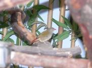 Green-winged Pytilia (Pytilia melba) (Melba Finch) at NA by Lee