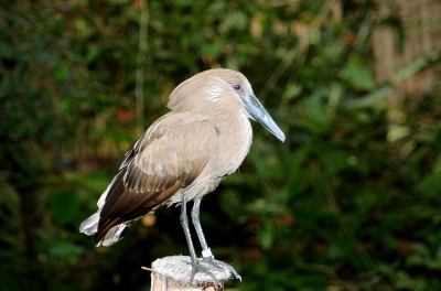 Hamerkop (Scopus umbretta) at NA by Dan