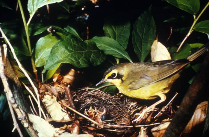 Kentucky Warbler (Oporornis formosus) ©USFWS