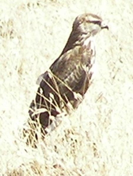 Mountain Buzzard (Buteo oreophilus) ©WikiC