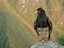 Mountain Caracara (Phalcoboenus megalopterus) ©WikiC